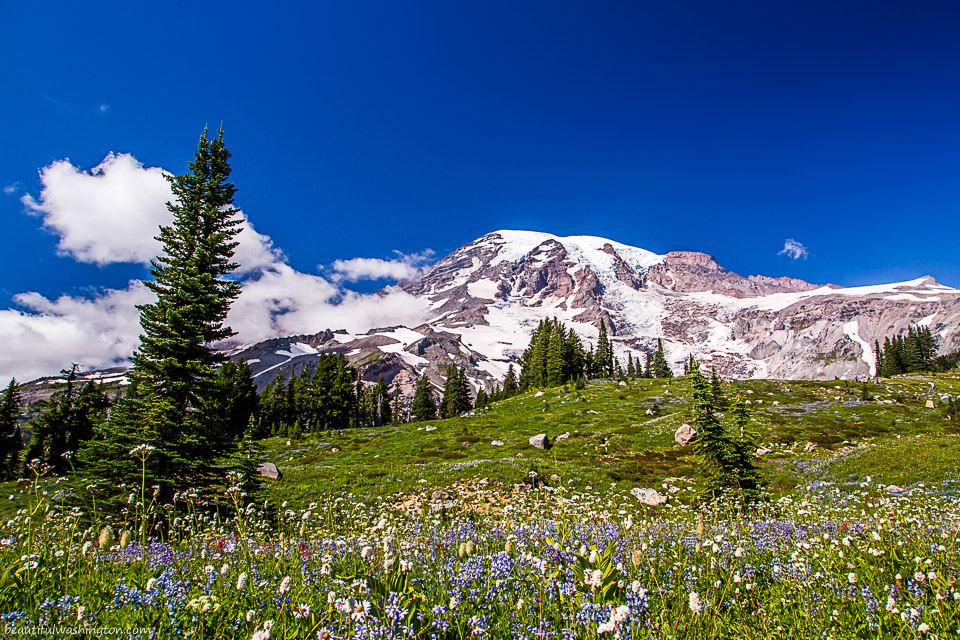 Photo of Mount Rainier made from the Alta Vista Trail