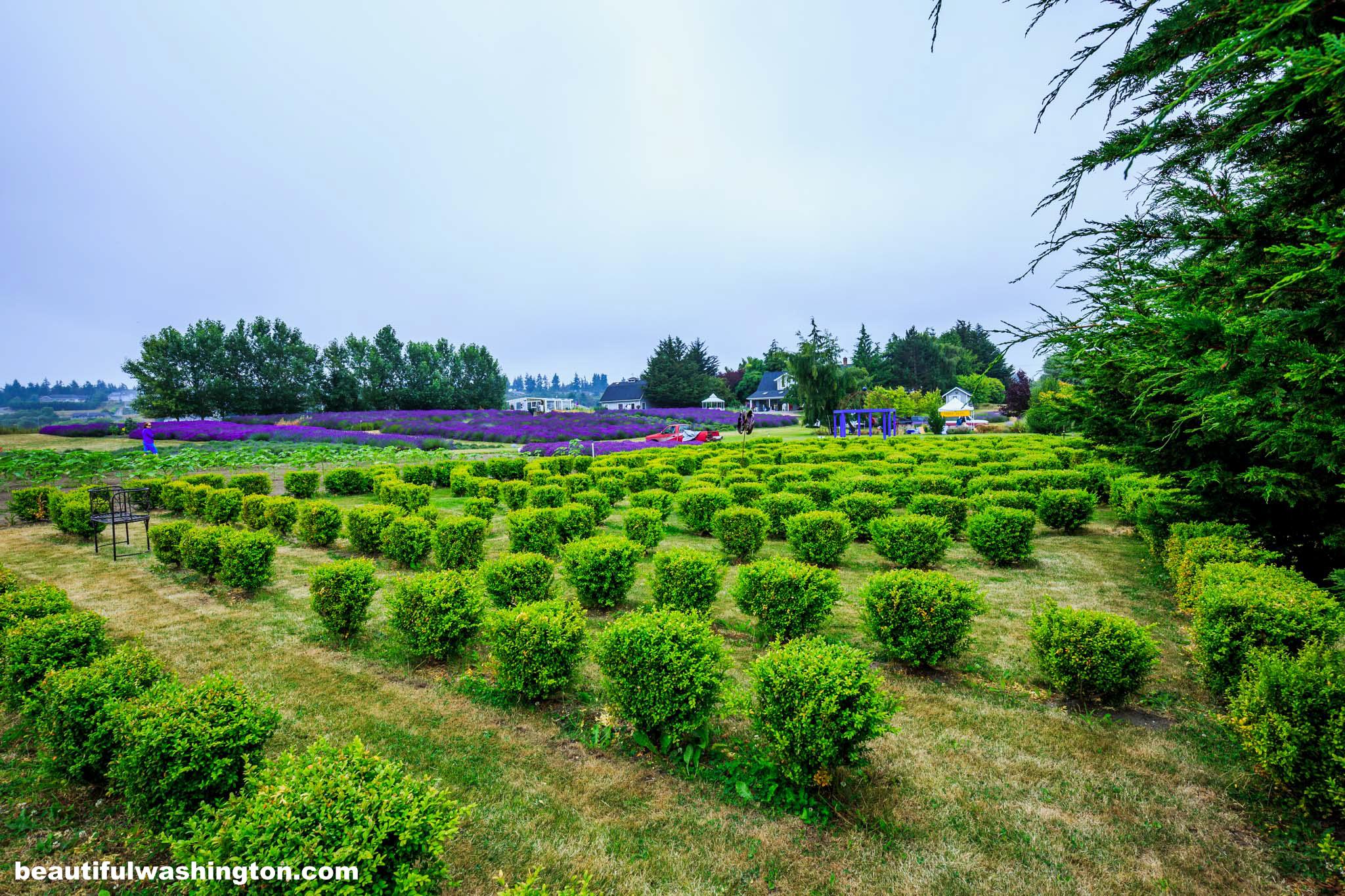 Jardin du soleil lavender farm for Jardin soleil