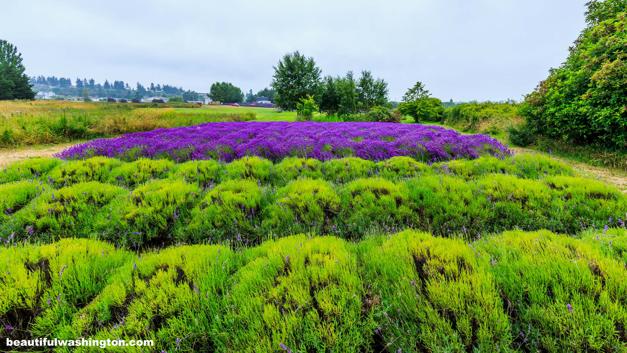 Photo from Clallam County, Jardin Du Soleil Lavender Farm