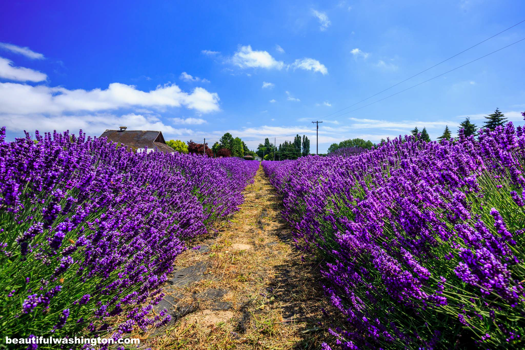 Photo from Clallam County, The Lavender Connection