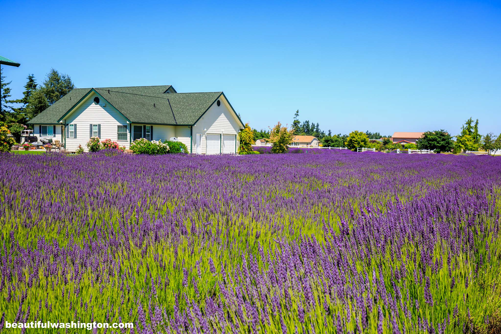 Photo from Clallam County, Oliver's Lavender Farm