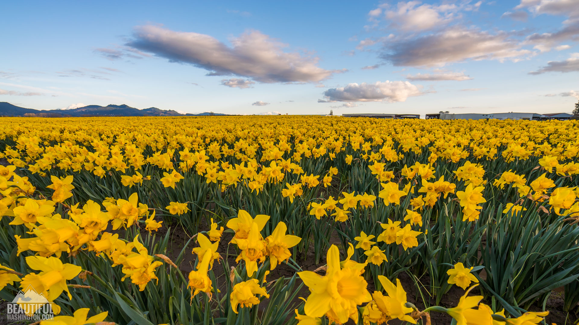 the daffodils and to daffodils 11 quotes have been tagged as daffodils: aa milne: 'she turned to the sunlight  and shook her yellow head,and whispered to her neighbor: winte.