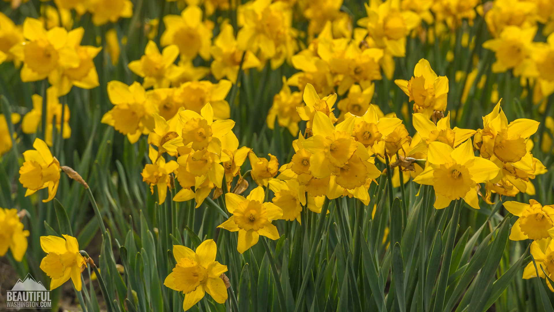 skagit valley daffodils pictures video from the tulip festival