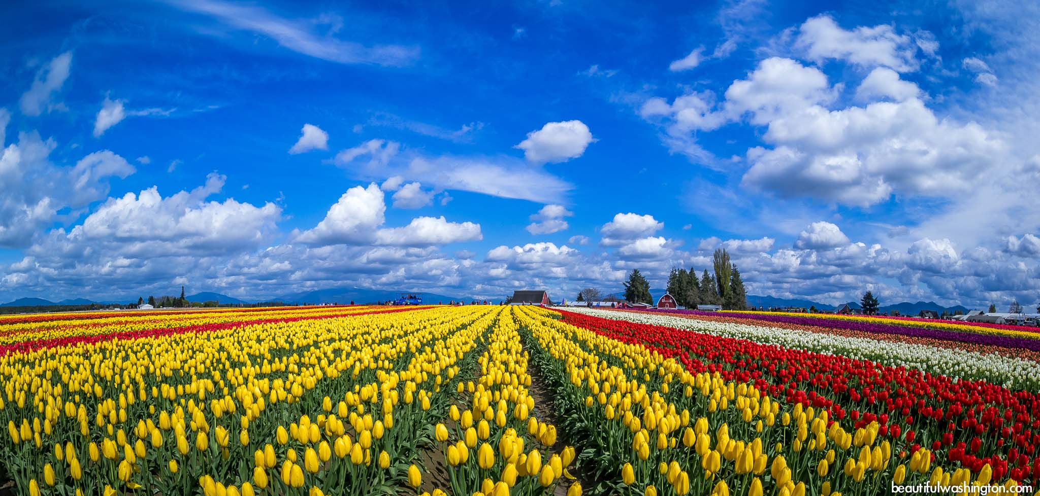 Photo from Skagit County, Mt Vernon, Skagit Valley Tulip Festival