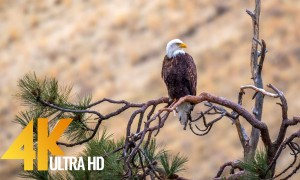 4K Wildlife Film - American Wildlife/Yakima Canyon Road - 2