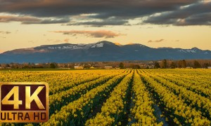 4K Relax Spring Flower Video: Skagit Valley Daffodils. Part 2 - 3.5 HRS