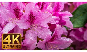 Flowers, Leaves & Rain/3.5 Hour 4K Footage of Rain Falling on Flowers