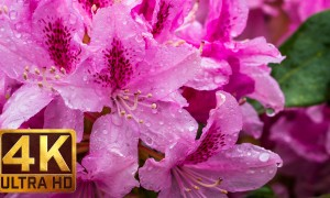 Flowers, Leaves & Rain/3.5 Hour 4K Footage of Rain Falling on Flowers. Part 1