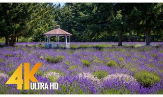 4K Martha Lane Lavender Farm, Sequim - 4 HOURS Relaxation Video (Nature Sounds)