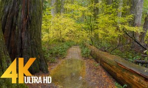 4K Rain in the Forest - Rainy Autumn Day in North Cascades NP - Nature Relax Video with Rain Sounds