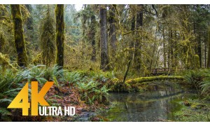 4K HDR/4K Nature Relax Video: Stream in the Hoh Rain Forest - 3 HRS
