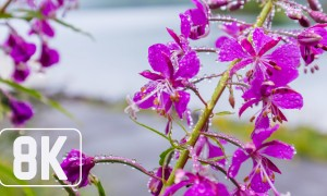Spring Flowers - 8K Beautiful Wallpaper Slideshow for Office, Lounge, TV Relaxation