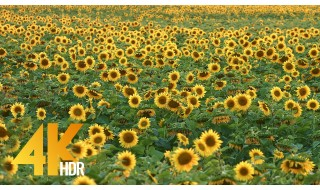 4K/4K HDR Relax Video - Sunflower Fields - 1 HR