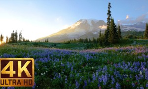 4K Flowers Relaxation Footage - Wild Flowers of Mt. Rainier
