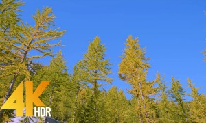4K HDR/4K Nature Relax Video - Yellow Spruce - 1 HR