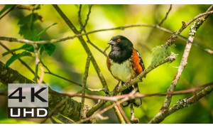 Bird Song - Natural Relaxation Trailer in 4K
