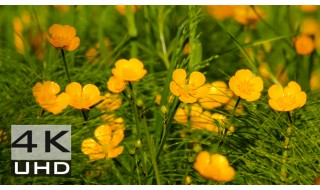 Golden Creeping Buttercups - Nature Relaxation Video 4k - 3 hours