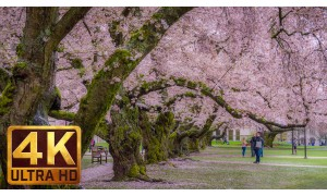 4K Relax Video: Cherry Blossom at the University of WA on a Rainy Day - 2 HRS