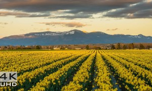Skagit Valley Daffodils, 4k Nature Relaxation Video, 2 hours