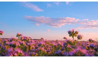 Nature Relaxation Video - PHACELIA FLOWERS FIELD (2 hours) - FREE DOWNLOAD