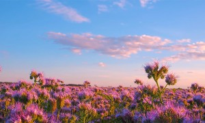Nature Relaxation Video - PHACELIA FLOWERS FIELD (2 hours)
