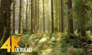 4K/4K HDR Virtual Walk in the Mossy Forest - Hoh Rain Forest Road