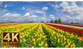 Skagit Valley Tulip Festival/4K TV Screensavers & Background Instrumental Piano Music 3.5 HRS-Part 12