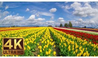 Skagit Valley Tulip Festival/4K TV Screensavers & Background Instrumental Piano Music 3.5 HRS-Part 12
