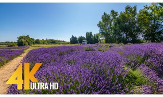 Soothing Views of Jardin Du Soleil Lavender Farm, Sequim, WA - 4K Relax Video with Nature Sounds