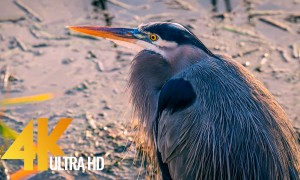 Winter Birds of Nisqually National Wildlife Refuge - 4K Nature Relax Video - Episode #3