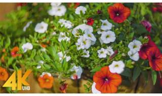 Beautiful Backyard Flowers - Petunias and Lilies - 4K Nature Relax Video + Bird Songs - Part 1