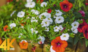 Beautiful Backyard Flowers - Petunias and Lilies - 4K Nature Relax Video + Bird Songs - Part 1