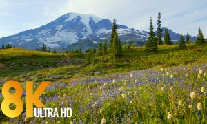 8K Wildflowers of Mt. Rainier from Reflection Lake Trail,10Bit Color - 50fps Video