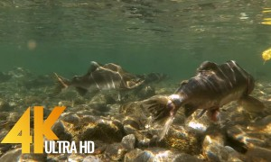 Salmon Run at Skagit River - 4K UHD Underwater Salmon Relax Video - 2 HRS