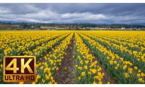 4K Relax Spring Flower Video: Skagit Valley Daffodils. Part 3 - 2 HRS