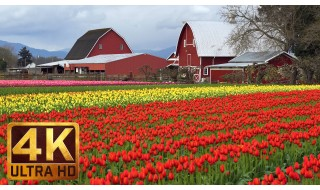 4K Nature Relax Video: Skagit Valley Tulip Festival. Episode 4