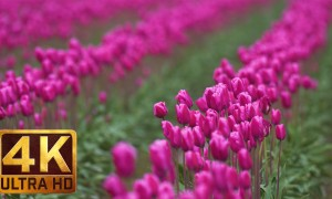 Spring Flowers in 4K (Ultra HD) - Skagit Valley Tulip Festival, WA | Episode #5