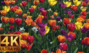 4K Flower Relax Footage from Washington State, Skagit Valley Tulip Festival, Episode 6 - 2 HRS