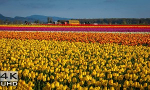 Skagit Valley Tulip Festival - 4K Nature Relaxation Video in 3 parts