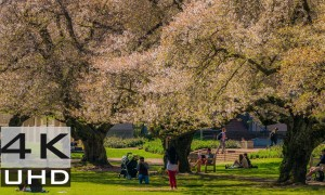 Cherry Blossom at the University of Washington, Relaxation Video in 4k - 1 hour - LINK FOR DOWNLOADING IS IN THE ARTICLE