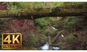 4K Waterfall in Forest - Quinault Rainforest Loop Trail