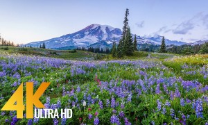 Mount Rainier Wildflowers 4K - Most Beautiful Landscapes in 4K